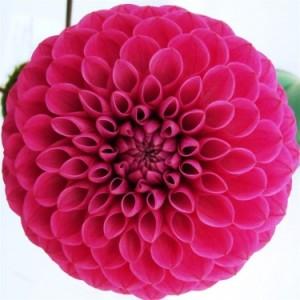 Deret Fibonacci dan Aplikasinya di Alam